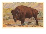 Buffalo, Yellowstone Park, Montana Poster