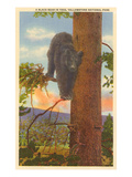 Bear in Tree, Yellowstone Park, Montana Posters