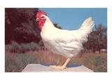 Leghorn Rooster Art