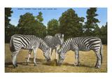 Zebras, Forest Park Zoo, St. Louis, Missouri Posters