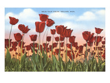 Tulip Fields, Holland, Michigan Posters