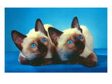 Siamese Kittens Posters