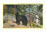 Black Bear, Glacier Park, Montana Prints