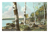 White Birch Trees, New Hampshire Prints