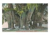 Ahueheute, Bald Cypress, Tule, Oaxaca, Mexico Art