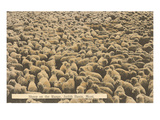 Sheep on Range, Judith Basin, Montana Prints