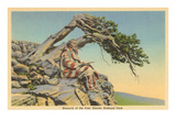 Indian with Bent Pine, Glacier Park, Montana Print
