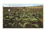 Tobacco Field, Raleigh, North Carolina Posters