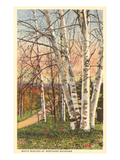 White Birches of Northern Michigan Print