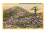 Rhododendrons, Blue Ridge Parkway, North Carolina Poster