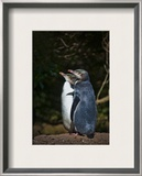 The Yellow-Eyed Penguin Framed Photographic Print by Trey Ratcliff