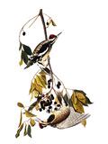 Audubon: Sapsucker, 1827-38 Posters by John James Audubon