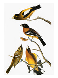 Audubon: Grosbeak Giclee Print by John James Audubon