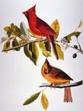 Audubon: Cardinal Reproduction giclée Premium par John James Audubon