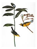 Audubon: Warbler, 1827 Prints by John James Audubon