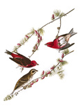 Audubon: Finch, 1827-38 Giclee Print by John James Audubon