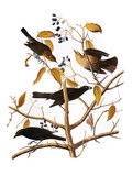 Audubon: Blackbird, 1827 Giclee Print by John James Audubon