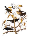Audubon: Blackbird, 1827 Prints by John James Audubon