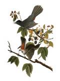 Audubon: Catbird, 1827-38 Impression giclée par John James Audubon