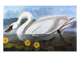 Audubon: Swan, 1827 Giclee Print by John James Audubon