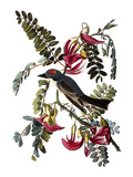Audubon: Kingbird, 1827-38 Posters by John James Audubon