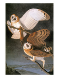 Audubon: Owl Posters by John James Audubon