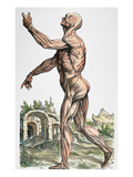Vesalius: Muscles 02, 1543 Prints by Andreas Vesalius