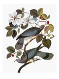 Audubon: Pigeon Prints by John James Audubon