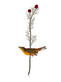 Audubon: Warbler, 1827 Giclee Print by John James Audubon