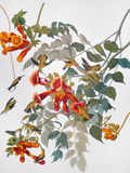 Audubon: Hummingbird Posters by John James Audubon