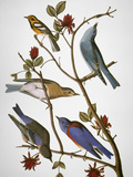 Audubon: Bluebirds Premium Giclee Print by John James Audubon