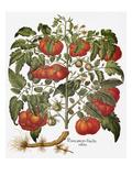 Tomato, 1613 Poster