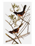 Audubon: Towhee Giclee Print by John James Audubon