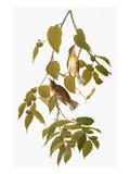 Audubon: Warbler Poster by John James Audubon