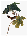 Audubon: Sparrow, 1827-38 Art by John James Audubon