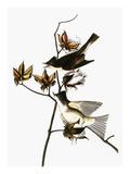 Audubon: Phoebe Giclee Print by John James Audubon