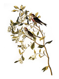 Audubon: Redpoll, 1827 Giclee Print by John James Audubon