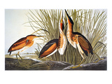 Audubon: Bittern Giclee Print by John James Audubon