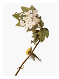 Audubon: Warbler, 1827-38 Reproduction giclée Premium par John James Audubon
