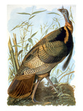 Wild Turkey Print by John James Audubon
