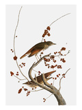 Audubon: Thrush Giclee Print by John James Audubon
