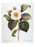 White Camellia Giclee Print