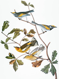 Audubon: Warbler Reproduction giclée Premium par John James Audubon
