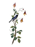 Audubon: Warbler, 1827-38 Reproduction giclée Premium par John James Audubon