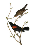 Audubon: Blackbird Prints by John James Audubon