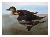 Audubon: Duck, 1827 Giclee Print by John James Audubon