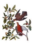 Audubon: Dove, 1827-38 Poster by John James Audubon