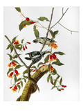 Audubon: Woodpecker, 1827 Giclee Print by John James Audubon