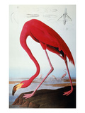 Audubon: Flamingo, 1827 Giclee Print by John James Audubon