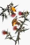Audubon: Goldfinch Giclée-tryk af John James Audubon